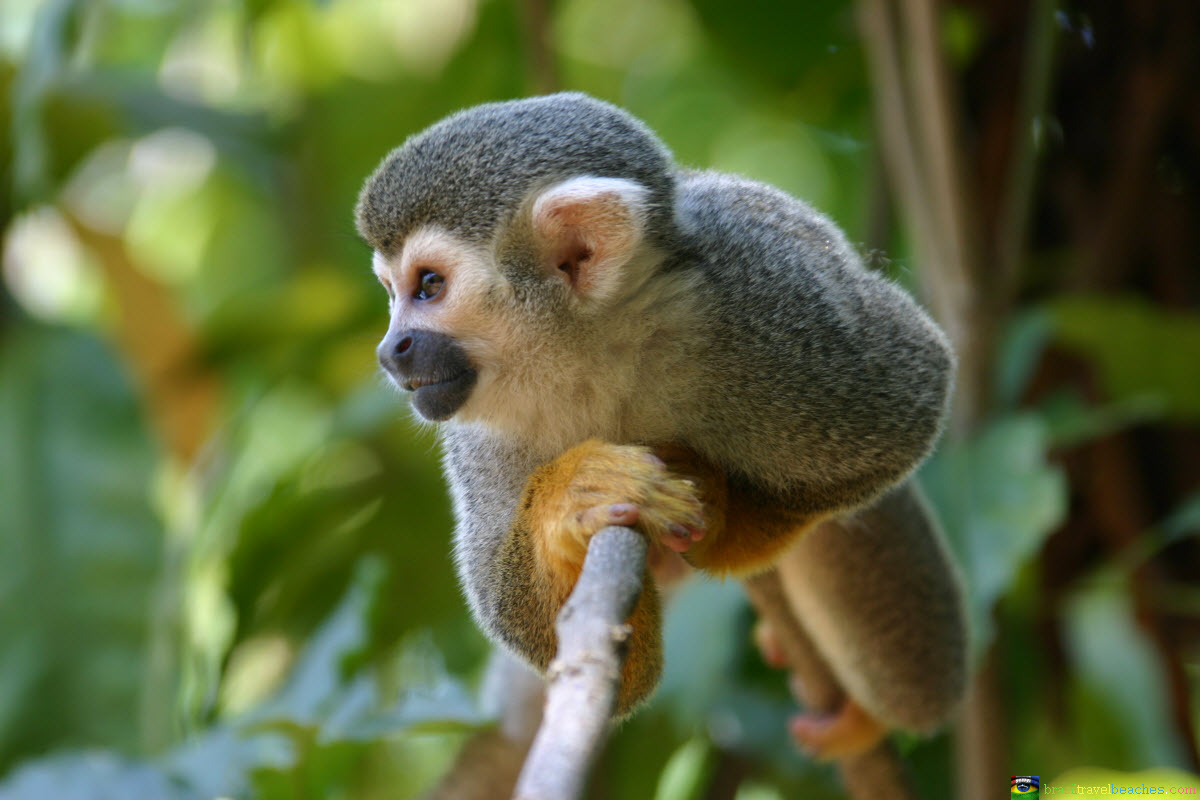 Top Les animaux d'Amazonie - Brasil Passion BU39